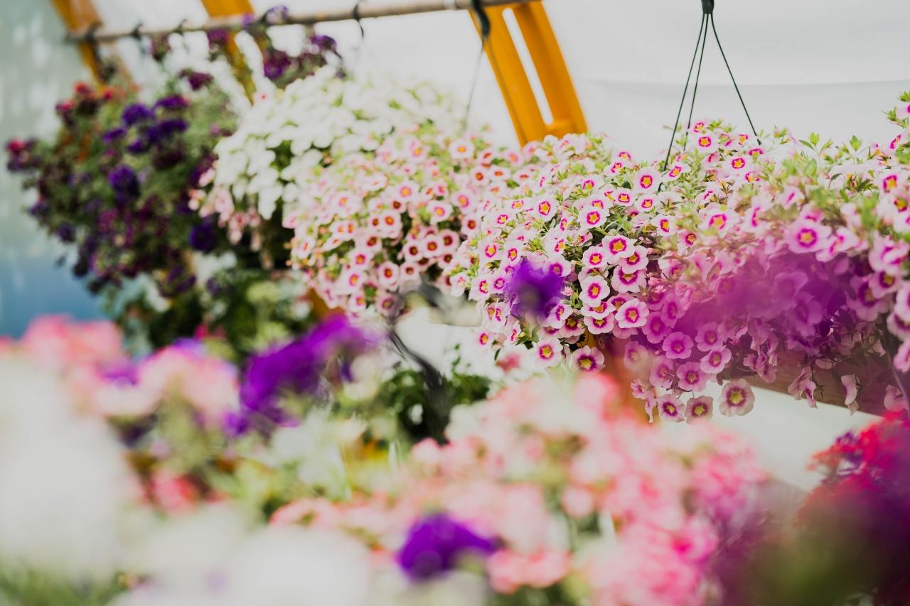 Krāsaini ziedi puķupodos, kas sakarināti siltumnīcā